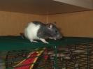 Rattis †