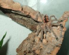 Avicularia minatrix