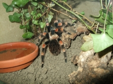 Brachypelma smithi (syn. annitha)
