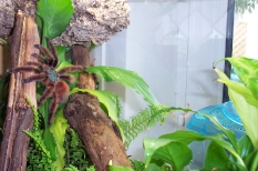 Caribena (syn. Avicularia) versicolor